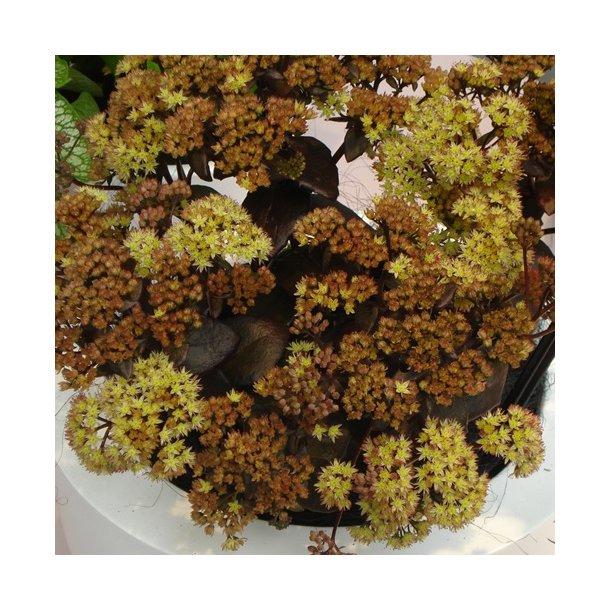 Sedum hybrid 'Yellow Xenox' - Sankthansurt