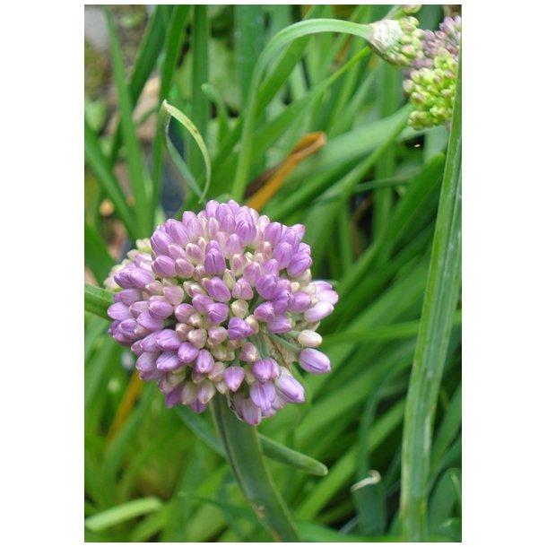 Allium senescens - Prydløg  Nyhed!