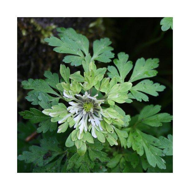 Anemone, (mangler navn)