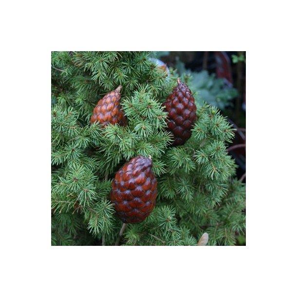 Palmefrugter (3 stk.)