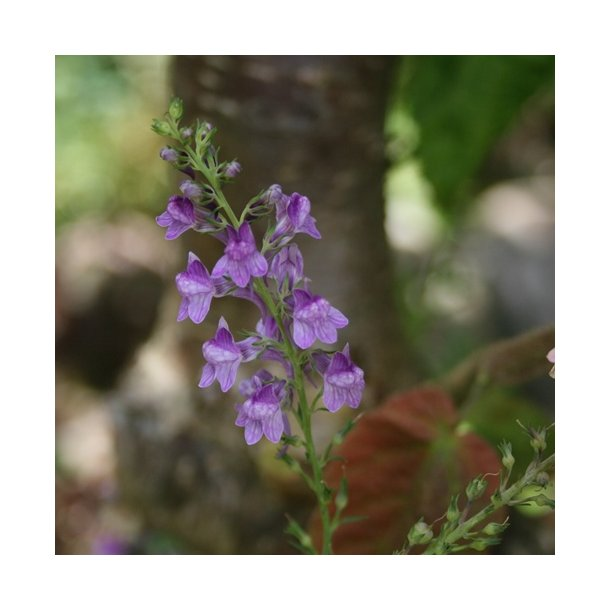 Linaria purpurea, frøplanter, blandede farver