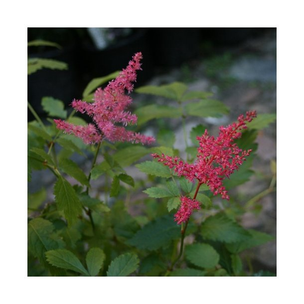 Astilbe 'Drum & Bass'  Ny!