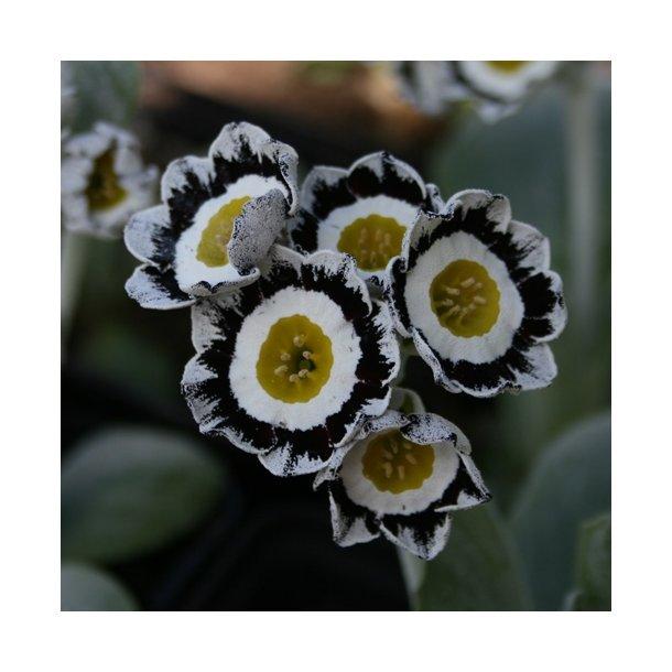 Primula, auricula - Showaurikel/fløjlsaurikel, a5