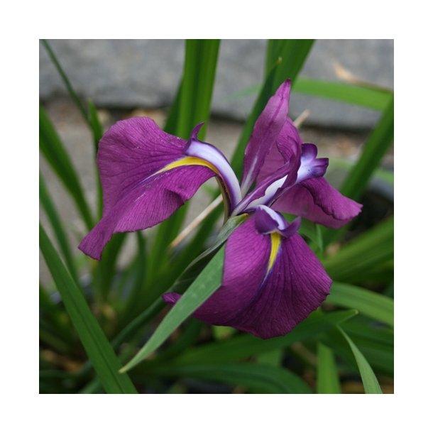 Iris ensata, lilla nuancer - japansk iris