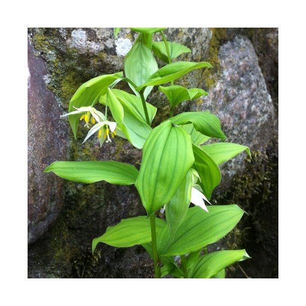 Disporum smilacinum - Fairy Bells